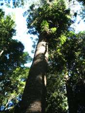 Bunya Mountains forests